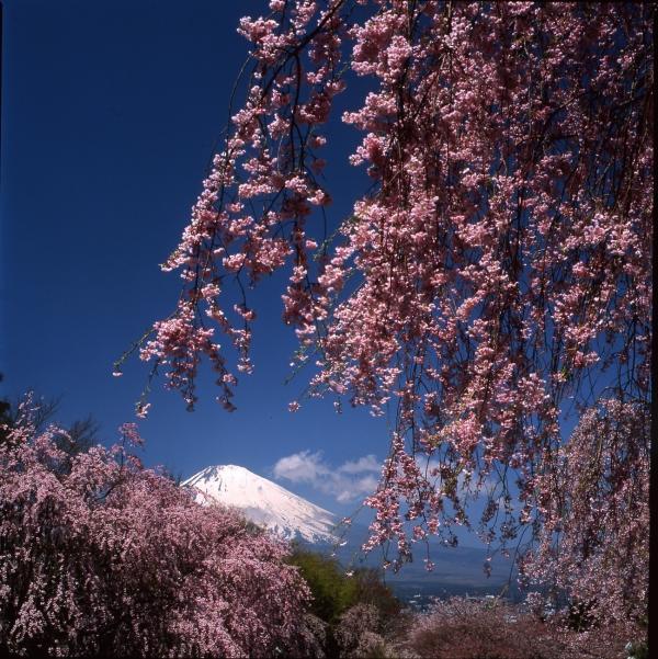 桜花爛漫(御殿場の富士山写真コンテスト入賞作品)