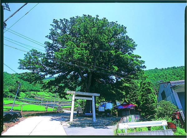 鼻崎の大スギ(県指定天然記念物)高根白山神社参道入り口にあります。