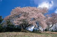 凱旋山の桜