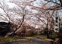 横地城跡は桜の名所。千畳敷や散策道に多くの桜が植えられています。春には多くの人が花見とウォーキングを楽しんでいます。