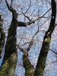 堀の外側には桜の大木があり春は花見も楽しめます。