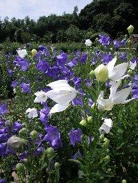 【1番咲き(1番花)】6月上旬~7月下旬にかけ園内には約15種類、4万株、100万本のキキョウが咲き誇り、その規模から日本最大のキキョウ園といわれています。花を眺めながら食べるキキョウの根を練り込んだアイスクリームや紫蘇の葉ジュースもお勧めです。