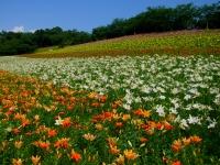 帯状に並ぶ五色のゆりの丘 オレンジ、白、赤、黄、ピンク
