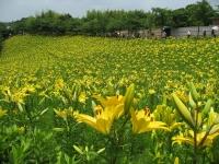 一面に黄色いゆりが咲く丘