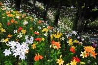色とりどりの百合が咲く谷