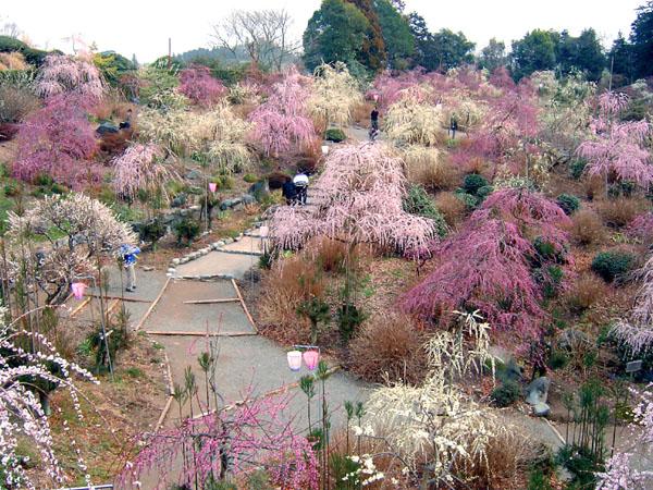 花庭園のしだれ梅