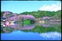 桜も綺麗です