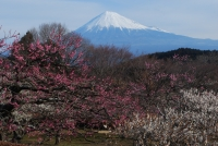 「富士山と梅」の絶好撮影ポイントとして、この季節になると公園には多くのカメラマンが訪れます。