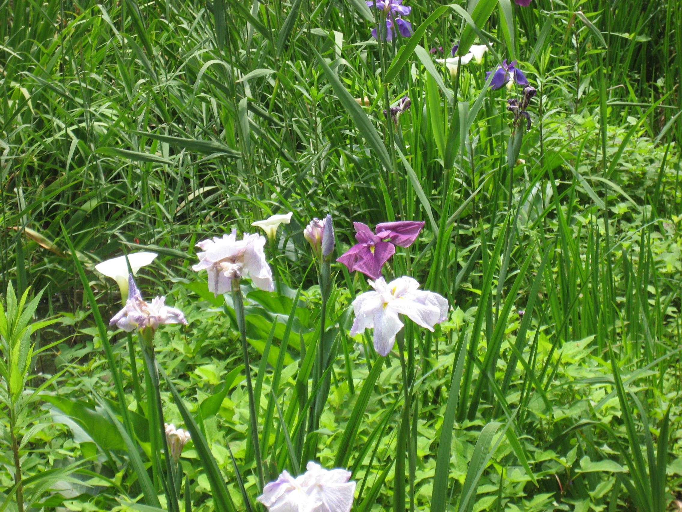 毎年5月下旬には、色の鮮やかなショウブが咲き、私たちの目を楽しませてくれます。